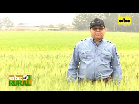 ABC Rural: Importancia de una buena fertilización en trigo
