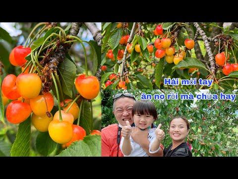 Đi vườn cherry NGÀN TỈ, lần đầu ăn thử cherry CỦ TÍ #918
