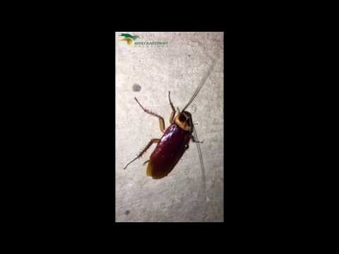 Cockroach Infestation Attracted By Gel - Bird and Pest Solutions