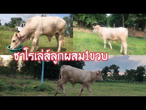 ลูกวัวชาโรเล่-เพศผู้น่ารักมาก-