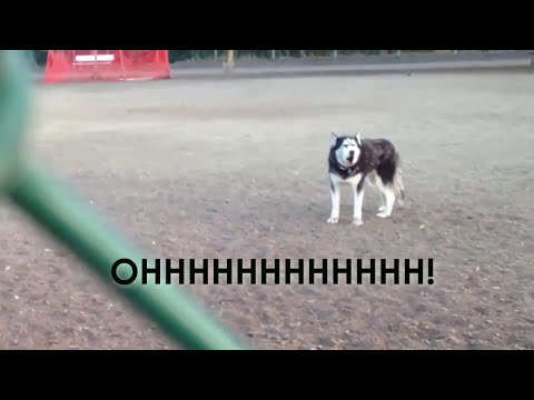 connectYoutube - Howling Husky doesn't want to leave dog park