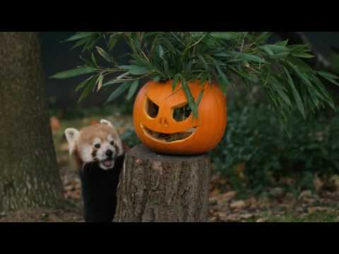 Red pandas Nima and Jung play with pumpkins!