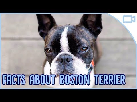 Facts About Boston Terriers!