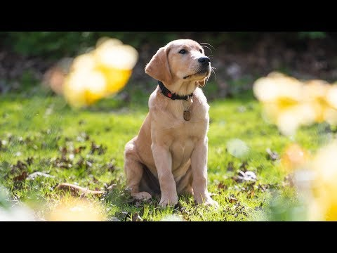 Toyota GB and Guide Dogs: Meet the Puppy Walker