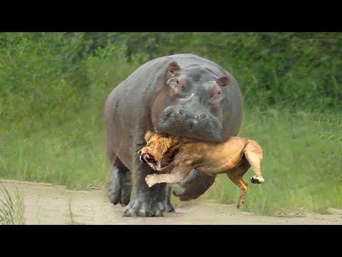 Безумные Битвы Животных, от Которых Мурашки по Коже!