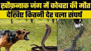 Bundi : कोबरा और पालतू कुत्ते की ख़ौफ़नाक झड़प में कोबरा ने तोड़ा दम - ITVNEWSINDIA