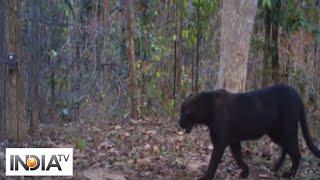 Rare black panther spotted in Chhattisgarh's Achanakmar Tiger Reserve - INDIATV