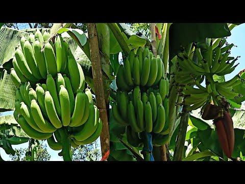การดูแลกล้วยหอมหลังจากกล้วยออก