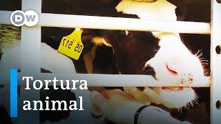 La crueldad del comercio internacional de ganado | DW Documental