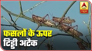 Locusts from across the border trouble farmers in Gujarat, Rajasthan - ABPNEWSTV