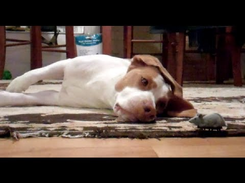 Dog Loves Toy Mouse : Cute Dog Maymo