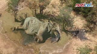 Mueren 300 elefantes