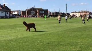 حيوان الألبكة يقتحم مباراة كرة قدم