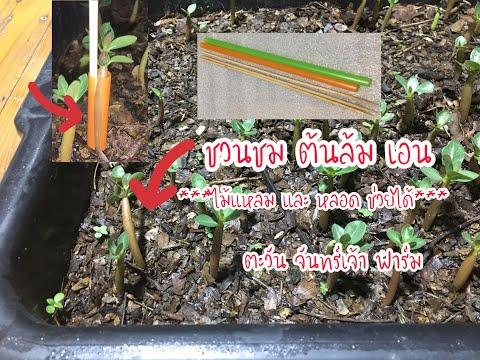 ชวนชม-ต้นล้มเอน-ไม้แหลม-และหลอ