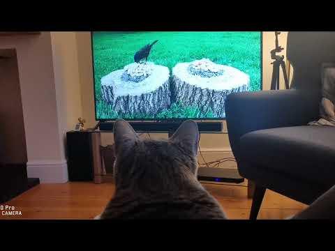 แมวดูทีวี-Gogglebox-Cat