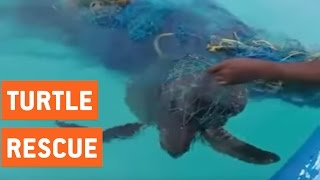 Sea Turtles Rescued By Divers | Tangled