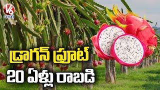 Special Report On Youth Showing Interest Over Cultivation Of Dragon Fruit   Nalgonda   V6 News - V6NEWSTELUGU