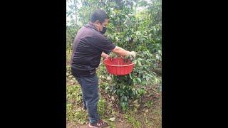 Oficios Chapines: Cosecha y corte de café en San Pedro la Laguna