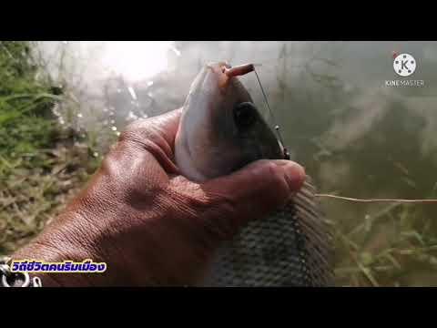 ตกปลาคันไม้ไผ่-หมานคือเก่า-พอไ