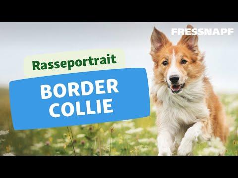 Rasseportrait: Border Collie