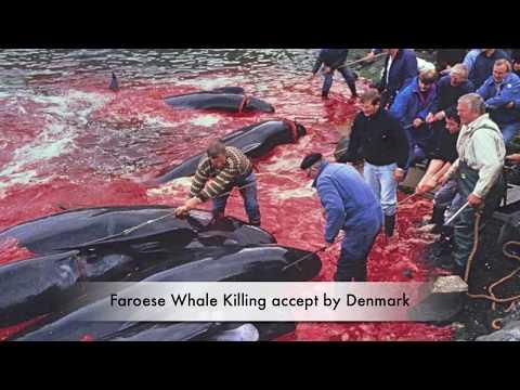 WDSF und ProWal-Proteste gegen Grindwaltötungen auf den Färöer-Inseln in Kopenhagen