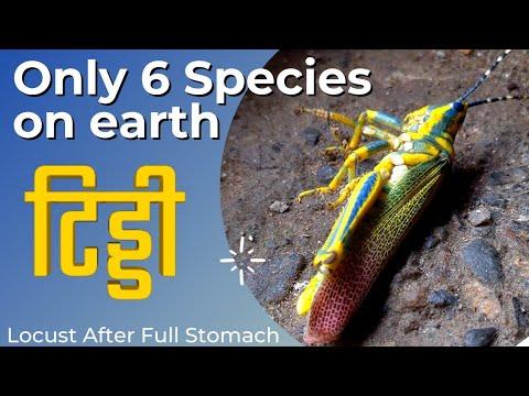 Locust (टिड्डा) After Eating | colorfull locust | सबसे खूबसूरत टिड्डा | beautiful Grasshopper
