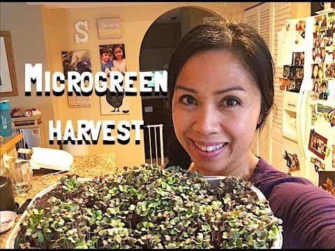 Microgreen Harvest! Russian Kale
