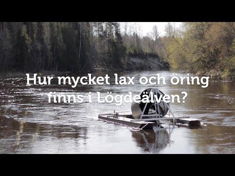 Hur mycket lax och öring finns i Lögdeälven?