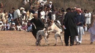 مصارعة الكلاب في باكستان