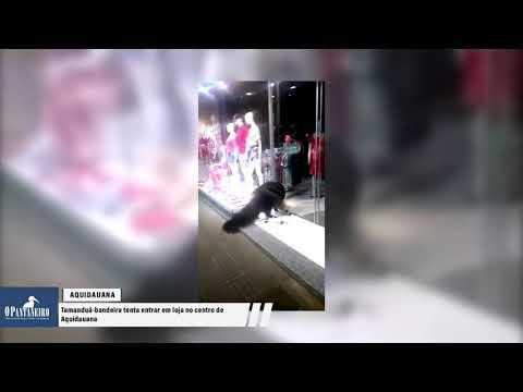 Tamanduá-bandeira tenta entrar em loja no centro de Aquidauana