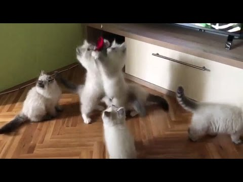 Bunch of fluffines playing
