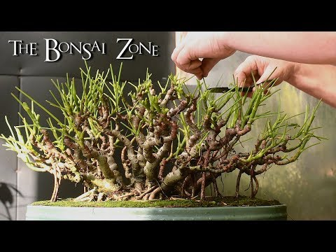 Creating a Schefflera Banyan Style Bonsai, Nov 2017