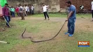 10-feet-long King Cobra rescued from premises of Jarada Jagannath Temple in Odisha - INDIATV