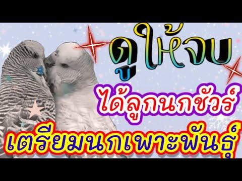 ดูให้จบ-นกลูกดกชัวร์-#เตรียมนก
