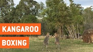 Wild Kangaroos Fighting | Boxing Roos