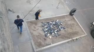 Suquillo: vecinos denuncian proliferación de gran cantidad de palomas [VIDEO]