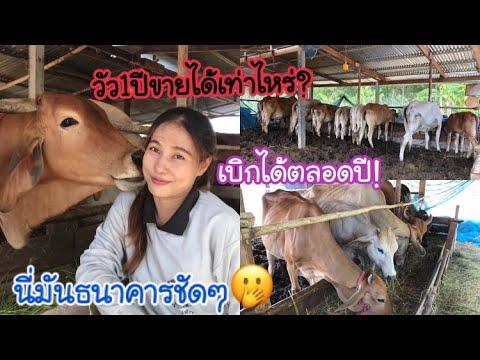 เลี้ยงวัวเป็นเงินเก็บ-ขายรอบแร