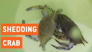 Blue Crab Shedding | New Shell, New Me