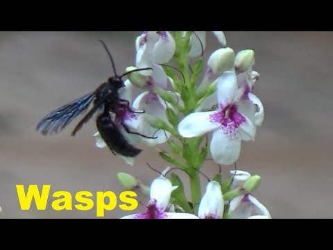 A black wasp moving from flower to flower and eating nectar