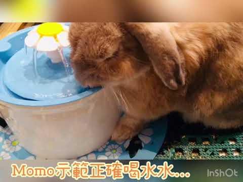 魔法兔兔-店兔Momo示範喝水水