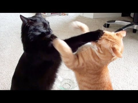 connectYoutube - NINJA CATS! There's absolutely NOTHING MORE FUNNY!  - Impossible TRY NOT TO LAUGH compilation