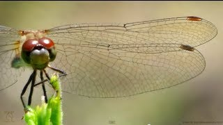 Dragonfly Wings in Slow Motion & Close-Up - Smarter Every Day 91