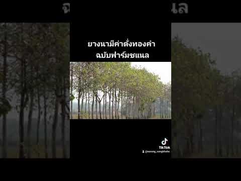 ยางนาฉบับวีวีฟาร์มชแนล