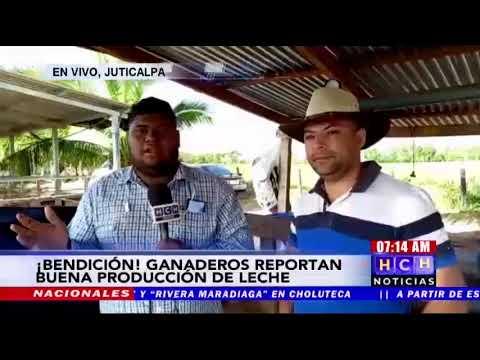 Buena producción de leche reportan ganaderos de Olancho