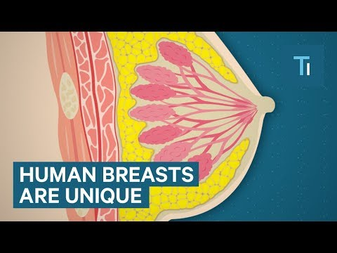 Why Are Human Breasts So Big