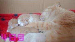 子猫 母猫『自分の子猫が鳴くと急いで駆け付けちゃう母猫ちゃん 茶トラちゃんの子育て4日目』などなど