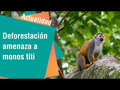 Deforestación del bosque amenaza la sobrevivencia de monos titi | Actualidad
