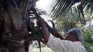 కొబ్బరి చెట్టు నుంచి బొండాలు తీయటం| kobbari bondalu|coconut plucking|andhrarecipes|కొబ్బరి బొండాలు - ANDHRARECIPES
