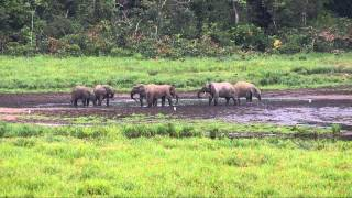 Forest Elephants in Ivindo National Park