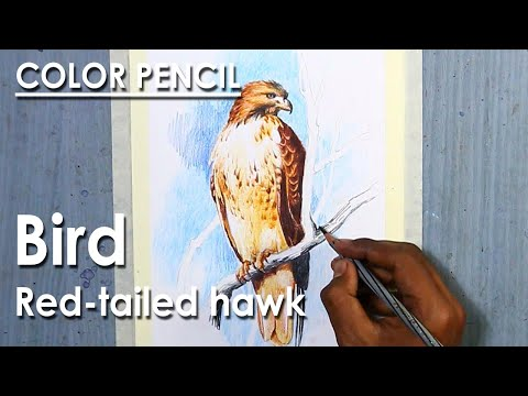 Watercolor Pencil Drawing : Bird – Red-tailed hawk
